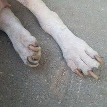 Žiaurumui nėra ribų: ilgai kankintą šunį galiausiai paliko leisgyvį