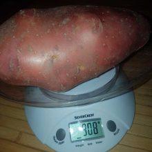 Kėdainių rajone auga bulvės gigantės