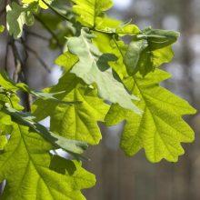 Rumšiškėse – visos Lietuvos ąžuolų galiūnų palikuonys
