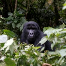 Gorilų daugiau nei manyta, bet joms vis tiek gresia pavojus