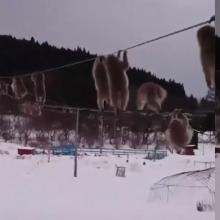 Internautus sužavėjo makakos, besikarstančios elektros laidais