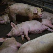 Kiaulių maras Rumunijoje – didžiausias nuo Antrojo pasaulinio karo
