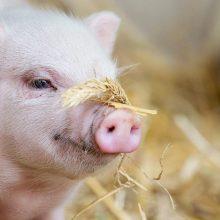 Lietuva atnaujino kiaulių eksportą į Lenkiją