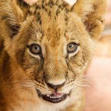 JAV: bėgikas pribaigė jį užpuolusį liūtą