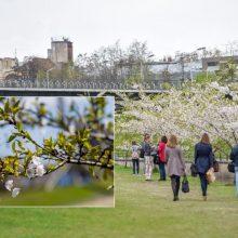 Kauniečius kviečia stebėti sakurų parko sodinimą