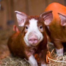 Įspėja ūkininkus: kiaulių maras vis dar plinta
