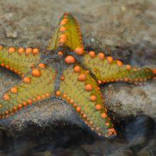 Augins jūrų žvaigždes
