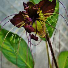 Juodoji lelija iš Drugelių paviljono