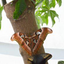 Botanikos sode plasnos įvairiaspalviai atogrąžų drugiai