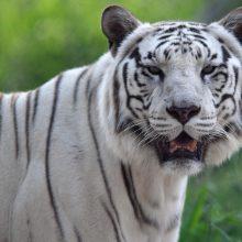 Japonijoje baltasis tigras sudraskė zoologijos sodo prižiūrėtoją
