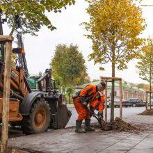 Kaune vietoje iškirstų medžių toliau sodinami nauji