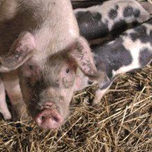 VMVT vadovas prakalbo apie papildomus tyrimus importuojant kiaules į Lenkiją