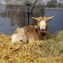Stambiųjų gyvūnų klinikoje gydoma ožkytė