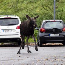 Trakų rajone automobilis susidūrė su briedžiu