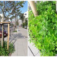 Praneša skaitytoja: naujus Miško gatvės sodinukus pasiglemžė žolės