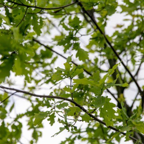 """""""Žalgirio"""" pergalių ąžuoliukas  © Vilmanto Raupelio nuotr."""