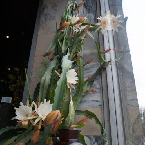 """Kaktusas """"Nakties karalienė"""" vaistinės vitrinoje  © Akvilės Snarskienės nuotr."""
