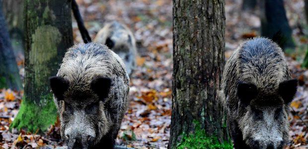 Afrikinis kiaulių maras nesiliauja guldęs šernus
