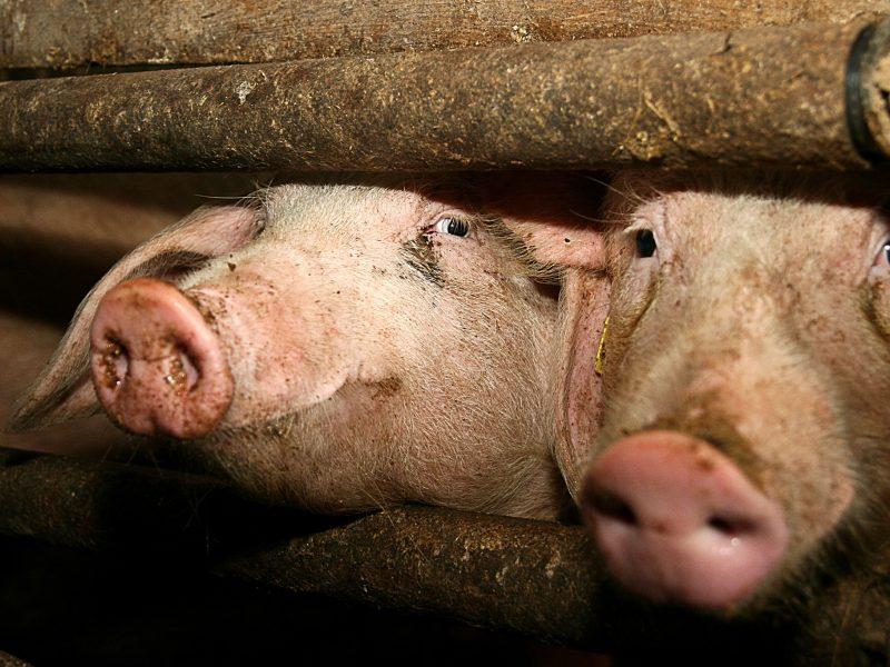 """""""Idavang"""" jau nori atnaujinti kiaulių auginimą Ignalinos rajono fermoje"""