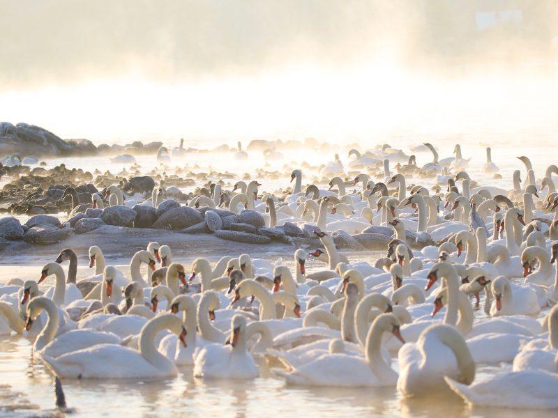 Ornitologai: žmonių rūpestis vandens paukščiais neretai pridaro žalos