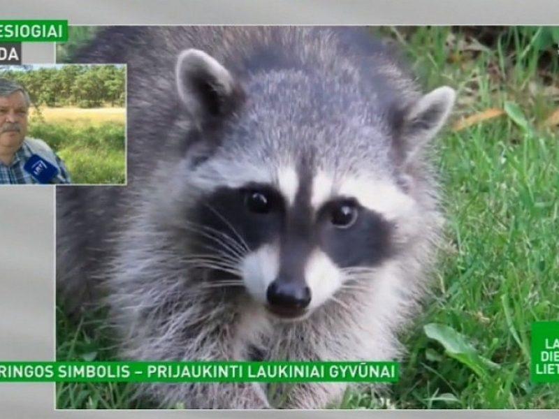 Neringoje atsiradę mielos išvaizdos gyvūnai žmonėms krečia nemielus pokštus