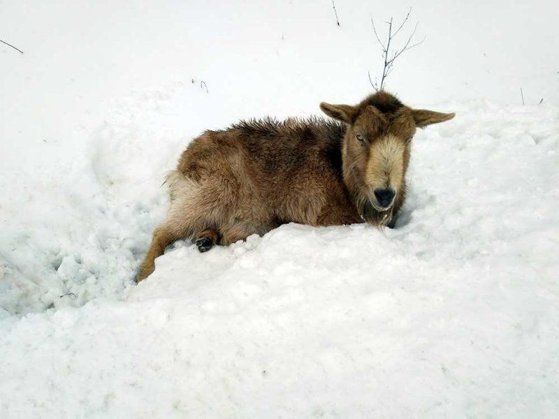 Pagalbos prireikė kelyje partrenktai ožkai