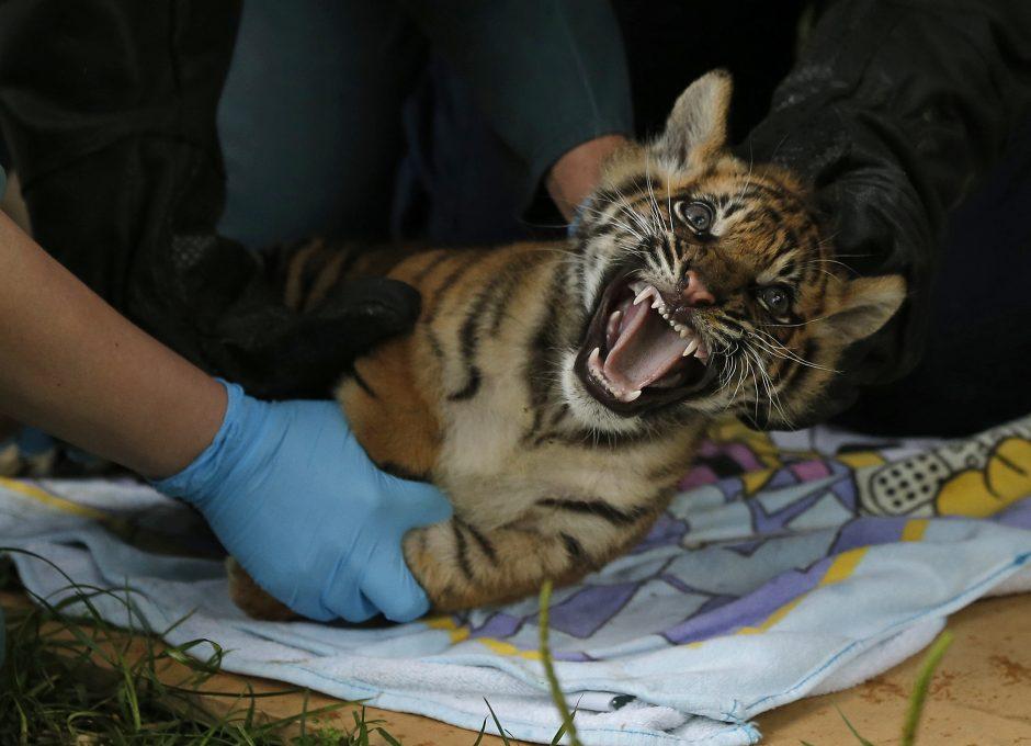 Džiugios naujienos iš gyvūnijos pasaulio - daugėja tigrų