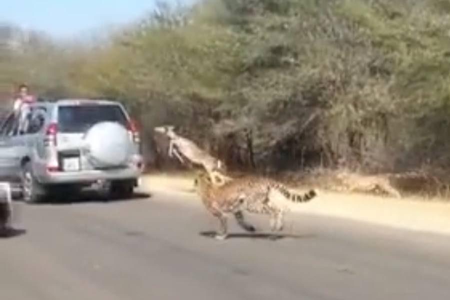 Pabėgimas nuo gepardo: impala ėmėsi plano B