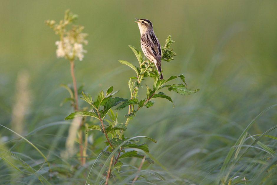 Kviečia į romantišką retų paukščių koncertą Nemuno deltoje