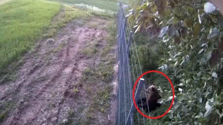Užfiksuota: meškutė iš Baltarusijos bandė patekti į Lietuvą