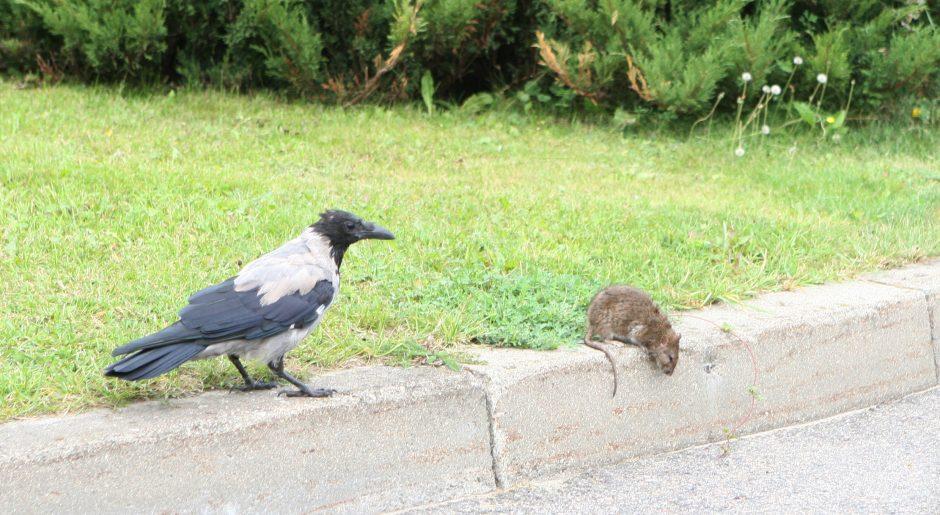 Drama sostinės gatvėje: išalkusios varnos užpuolė žiurkę (kas laimėjo?)