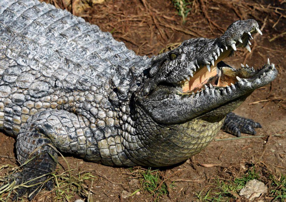 Australijoje krokodilas sudraskė žveją