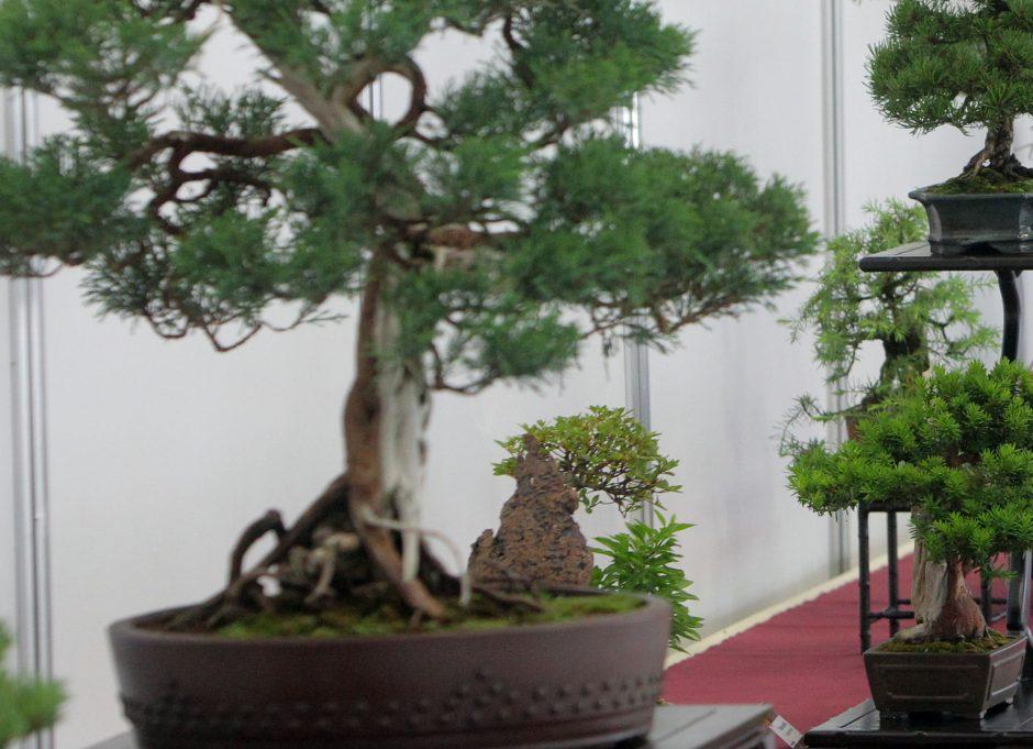 Iš Kauno parduotuvės pavogti du bonsų medeliai už 16 tūkst. litų