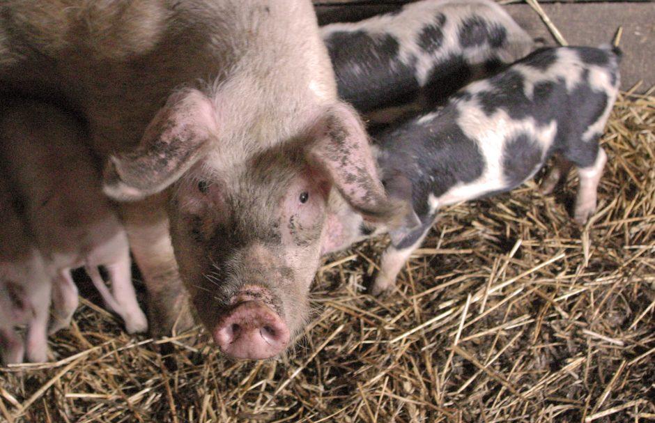 Afrikinis kiaulių maras toliau plinta