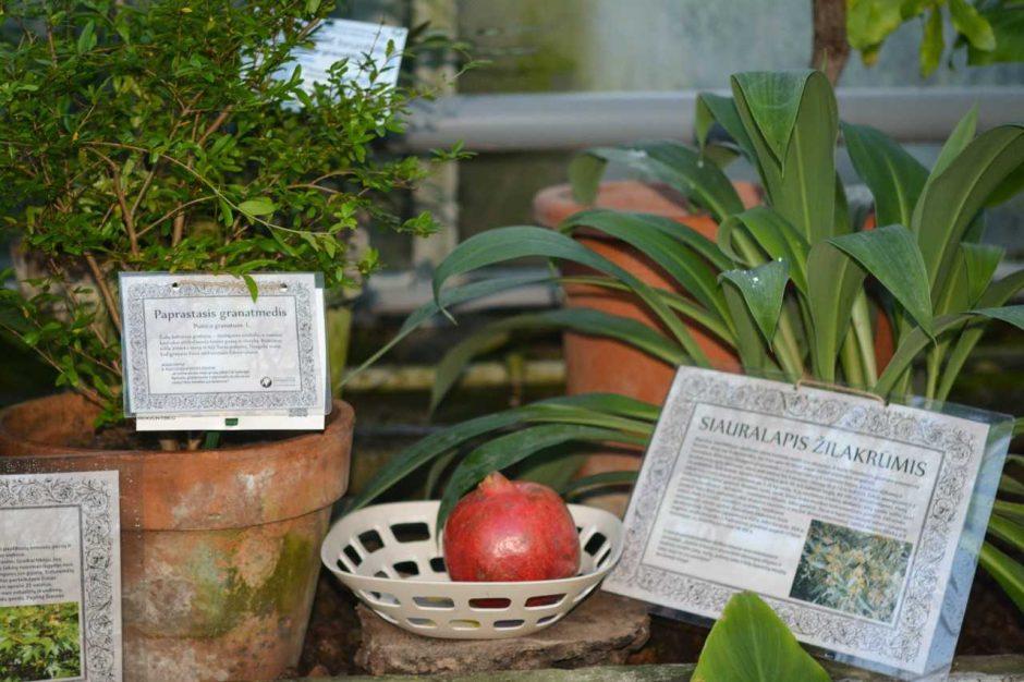 Biblijos augalų parodoje – paslaptingos istorijos ir teminė degustacija