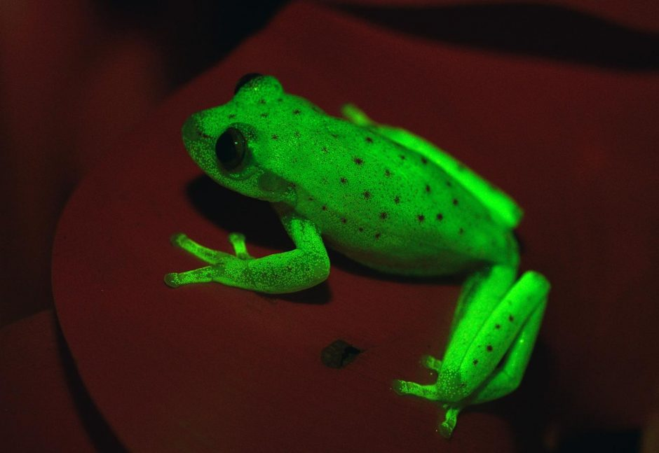 Argentinoje atrasta nauja varlių rūšis