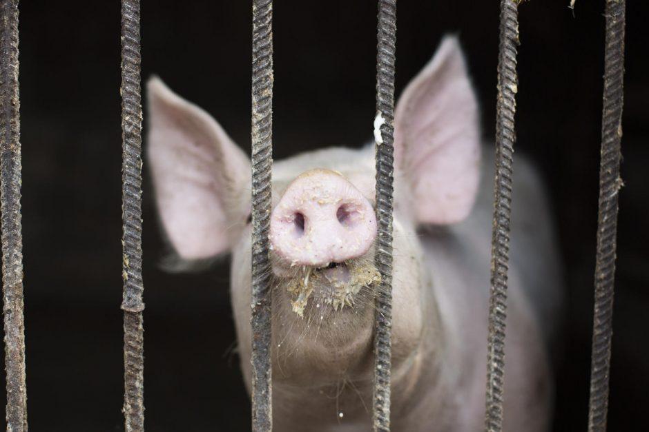 Vasaros pradžia paženklinta kiaulių maro protrūkiais