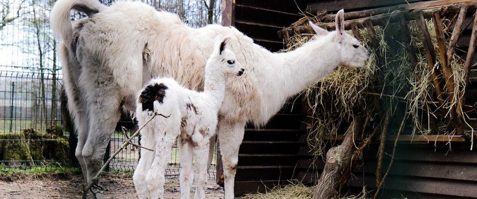 Suskaičiuokime jauniklius Lietuvos zoologijos sode