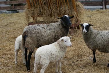Prekybos miestelyje Kaune apsigyveno avys