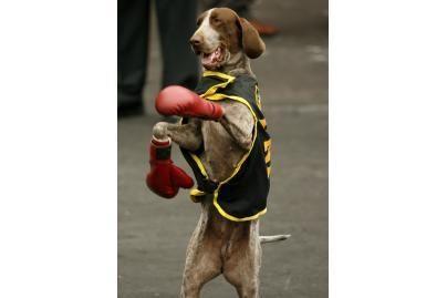 Šunys moka boksuotis