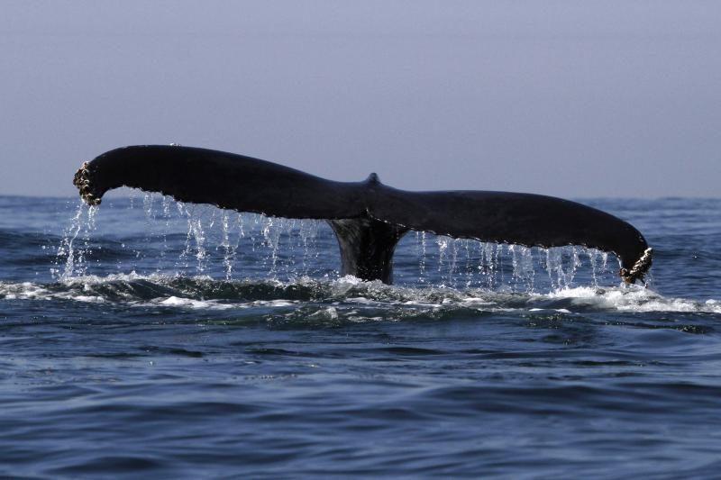 Mokslininkai atrado naują banginių jutimo organą