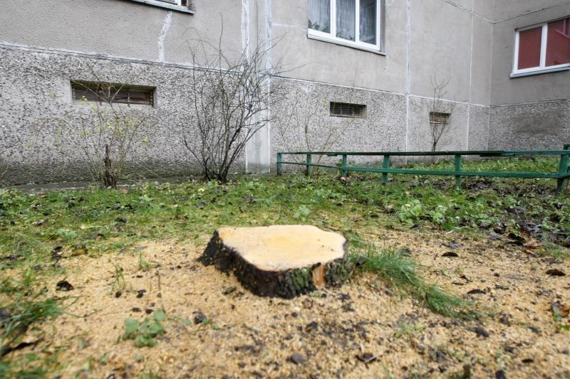 Klaipėdiečiai medžius kiemuose šalina savavališkai? (foto)