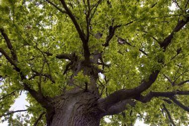 Tūkstantmečio ąžuolyne - dar 5 tūkst. ąžuolų