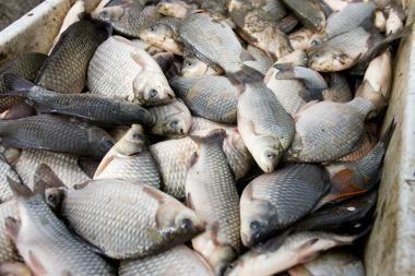 Lietuvoje uždrausta prekiauti Baltijos jūros menkių kepenėlėmis