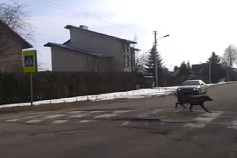 Kaip per gatvę pėdina pavyzdingai išauklėti šunys