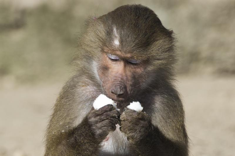 Babuinai geba suprasti skaičius (beždžionių matematika)
