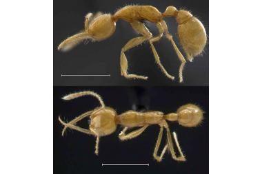 Mokslininkai rado seniausią pasaulyje skruzdėlę