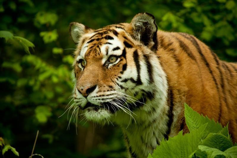 Ar turizmas būtinas tigrų apsaugai Indijoje?