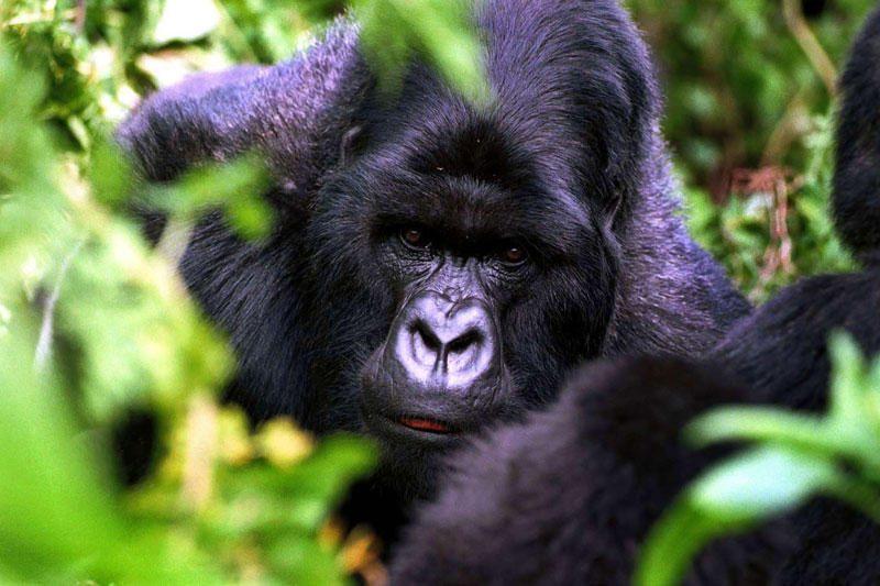 Žmonės tebeturi daug bendrų genų su gorilomis