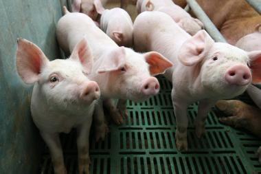 Britanijoje sąmyšį sukėlė plastmasinės kiaulės